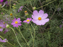Kosmos i blom i en parkera Arkivbilder