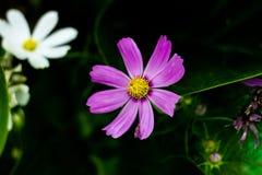 Kosmos, kwiat Zdjęcia Royalty Free