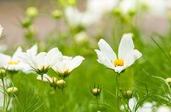 Kosmos kwitnie biel Obraz Royalty Free
