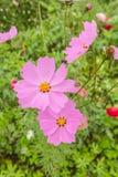 Kosmos Kwitnie kolorowego w ogródzie Zdjęcie Royalty Free