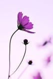 Kosmos kwitnie purpury Fotografia Royalty Free