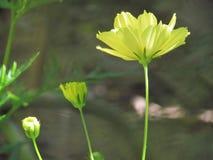 Kosmos kwitnie w ogrodowych cyzelatorstwo rozmiarach od małego ampuła, zdjęcie royalty free