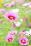 Kosmos kwitnie w parku, Piękni kwiaty w ogródzie, co Obrazy Royalty Free