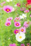 Kosmos kwitnie w parku, Piękni kwiaty w ogródzie, co Zdjęcia Stock