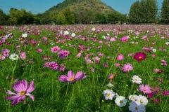 Kosmos menchii kwiaty Zdjęcie Royalty Free
