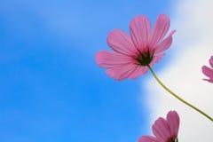 Kosmos menchii kwiaty fotografujący w zakończeniu w ranku Zdjęcie Royalty Free