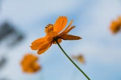 Kosmos oranje bloemen en hemel Stock Afbeeldingen