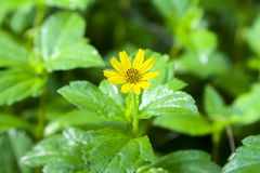 Kosmos rośliny żółty Compositae Zdjęcie Royalty Free