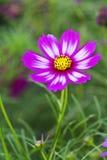 Kosmos roze en witte bloem Stock Afbeelding