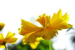 Kosmos sulphureus Blume stockfotos