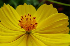 Kosmos sulphureus Blume stockfotografie