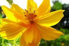 Kosmos sulphureus Blume lizenzfreies stockfoto