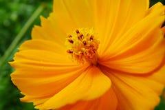 Kosmos sulphureus Blume lizenzfreie stockfotos