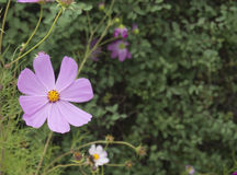 Kosmos w kwiacie w parku Obraz Royalty Free
