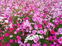 Kosmos?w kwiaty kwitn? na ogrodowym tle, uprawy flancowanie przy Tajlandia zdjęcia stock