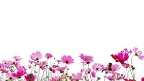 Kosmos?w kwiaty fotografia royalty free