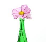 Kosmos w zielonej szklanej butelce Fotografia Stock