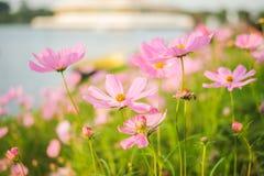Kosmosbipinnatusen blommar att blomma i trädgården royaltyfri bild