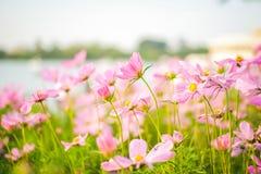 Kosmosbipinnatusen blommar att blomma i trädgården royaltyfria bilder