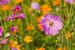 Kosmosbipinnatusfält som naturen skapade från färgrikt Royaltyfri Fotografi