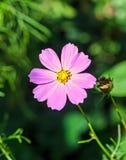 Kosmosbipinnatusrosa färger blommar, gemensamt kallat det trädgårds- kosmoset royaltyfri bild
