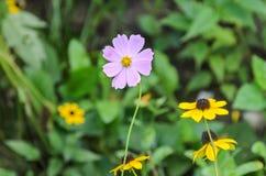 Kosmosbipinnatusrosa färger blommar, gemensamt kallat det trädgårds- kosmoset eller mexikanaster, slutet upp royaltyfria foton
