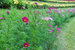 Kosmosbloem in de tuin in noordelijk deel van Thailand Stock Afbeelding
