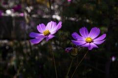 Kosmosbloemen Royalty-vrije Stock Foto