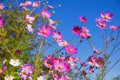 Kosmosbloemen Stock Foto's