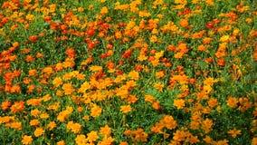 Kosmosbloemen bij het park in Hiroshima, Japan stock videobeelden