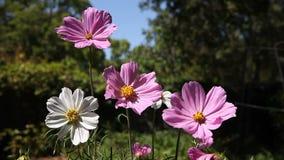 Kosmosbloemen in de zomer stock footage