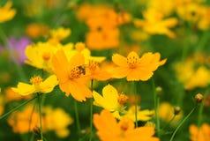 Kosmosbloemen die in de tuin bloeien royalty-vrije stock foto's
