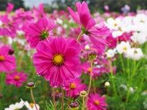 Kosmosbloemen die in de tuin bloeien Royalty-vrije Stock Afbeeldingen