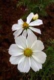 Kosmosbloemen die in de tuin bloeien Stock Fotografie