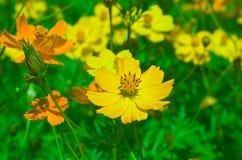 Kosmosbloemen die in de tuin bloeien Stock Foto