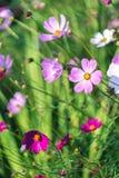 Kosmosbloemen die op het gebied bloeien stock foto's