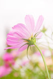Kosmosbloemen met de zon van de middagdag Royalty-vrije Stock Afbeeldingen