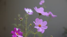 Kosmosbloemen op een bewolkte dag stock videobeelden