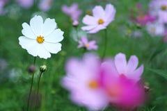 Kosmosbloemen op grasachtergrond die worden geïsoleerd Royalty-vrije Stock Foto's