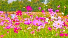 Kosmosbloemen op het gebied royalty-vrije stock foto