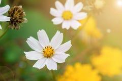 Kosmosbloemen op weide Stock Foto