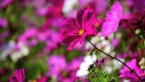 Kosmosbloemen, roze kosmos stock video