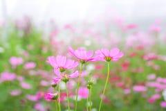 Kosmosbloemen in tuin stock fotografie