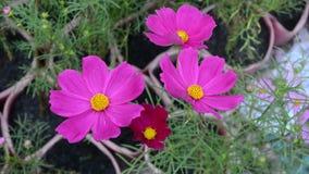 Kosmosbloemen in tuin stock footage