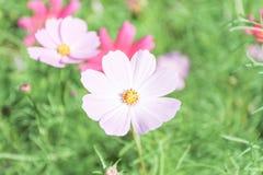 Kosmosbloemen in vele kleuren, mooie zachte nadruk Stock Afbeeldingen