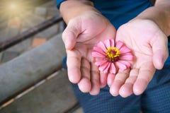 kosmosblomma i manhanden closen colors slappt övre siktsvatten för liljan Royaltyfri Bild