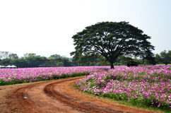 Kosmosblommafält på bygd Nakornratchasrima Thailand Arkivbilder