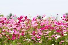 Kosmosblommafältet med himmel, vårsäsong blommar Arkivbild