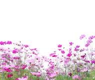 Kosmosblomman ?r blom- och gr?splanstj?lk som isoleras p? vit bakgrund royaltyfria foton