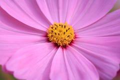 Kosmosblommarosa färger Royaltyfria Foton
